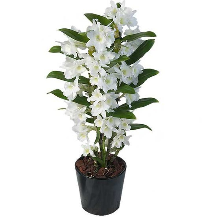 Dendrobium White Nobile with delivery in NYC by Flordel