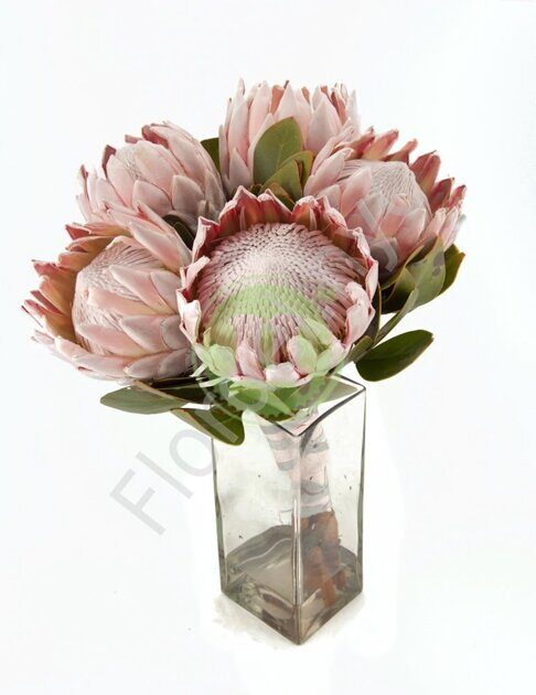 Protea bunch