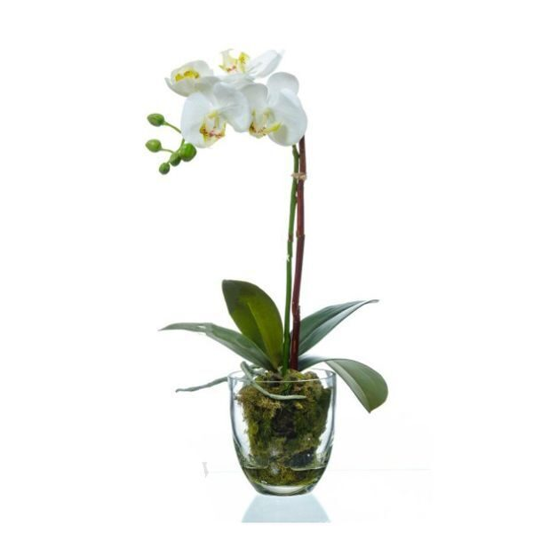White orchid phalaenopsis in a pot