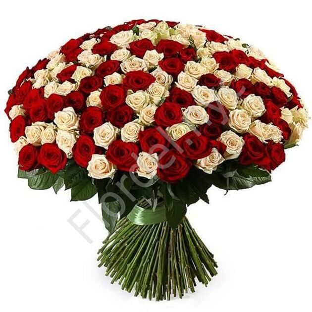 300 White and red roses