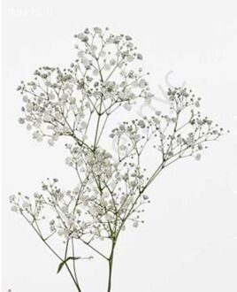Gypsofila (baby's breath)