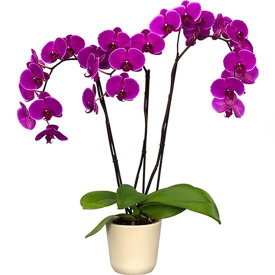 Purple orchid phalaenopsis in a flower pot