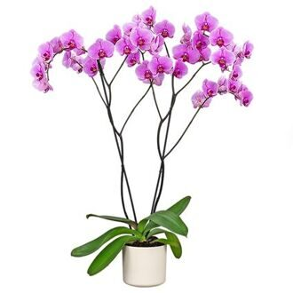 Phalaenopsis Boston