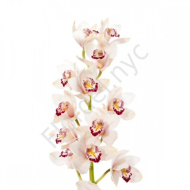 Orchid Cymbidium GRAND